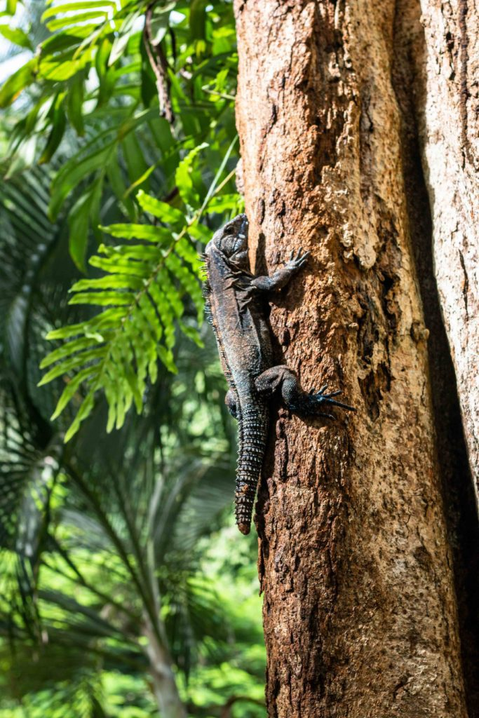 lizard jungle Rancho Burica Costa Rica