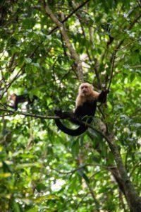 cappuchin monkeys jungle Rancho Burica
