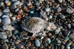 baby turtle conservancy project Punta Banco