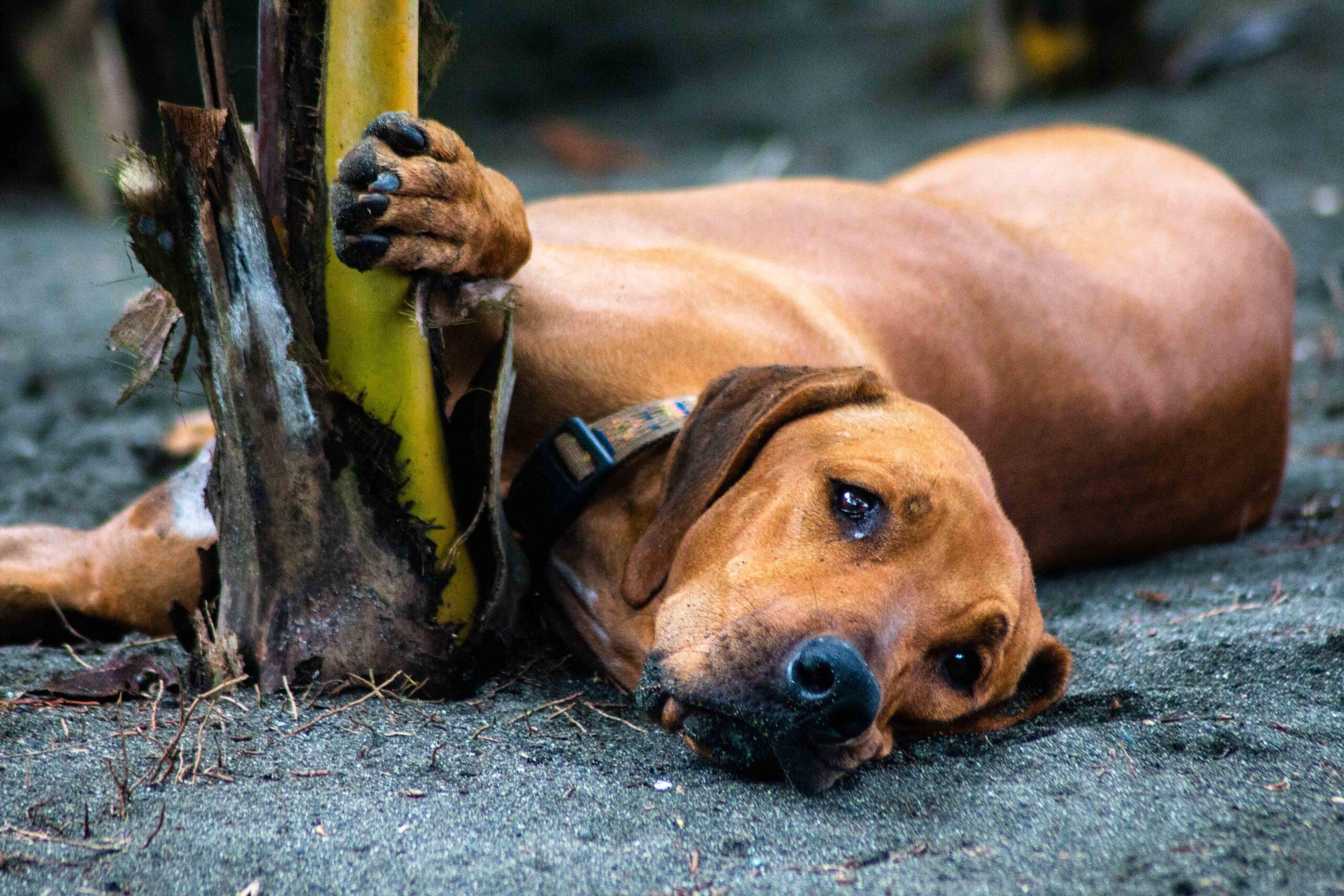 Rancho Burica dog
