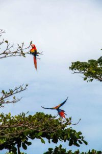 red macaws Rancho Burica Costa Rica