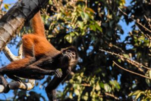 Spider monkey in the jungle of Costa Rica Rancho Burica