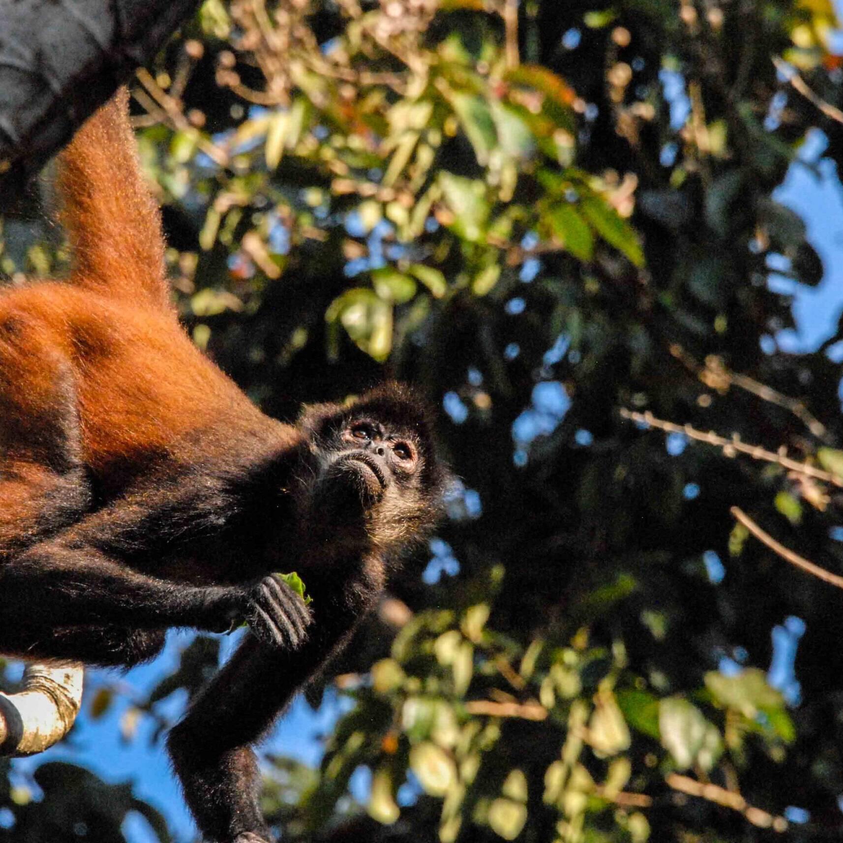 Spider monkey jungle Costa Rica Rancho Burica