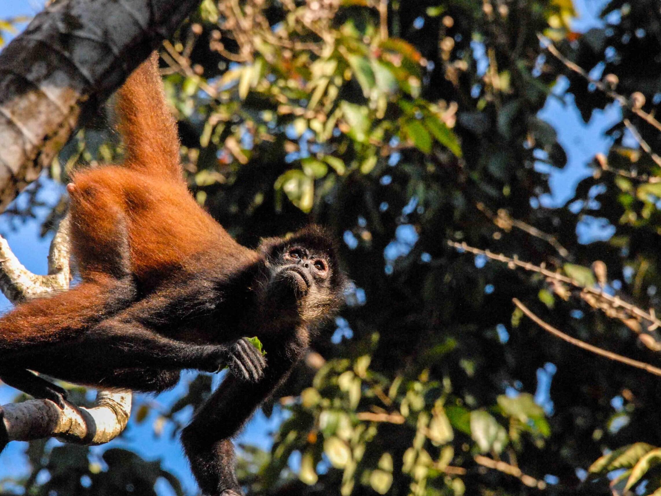 Spider monkey in the jungle of Costa Rica Rancho Burica