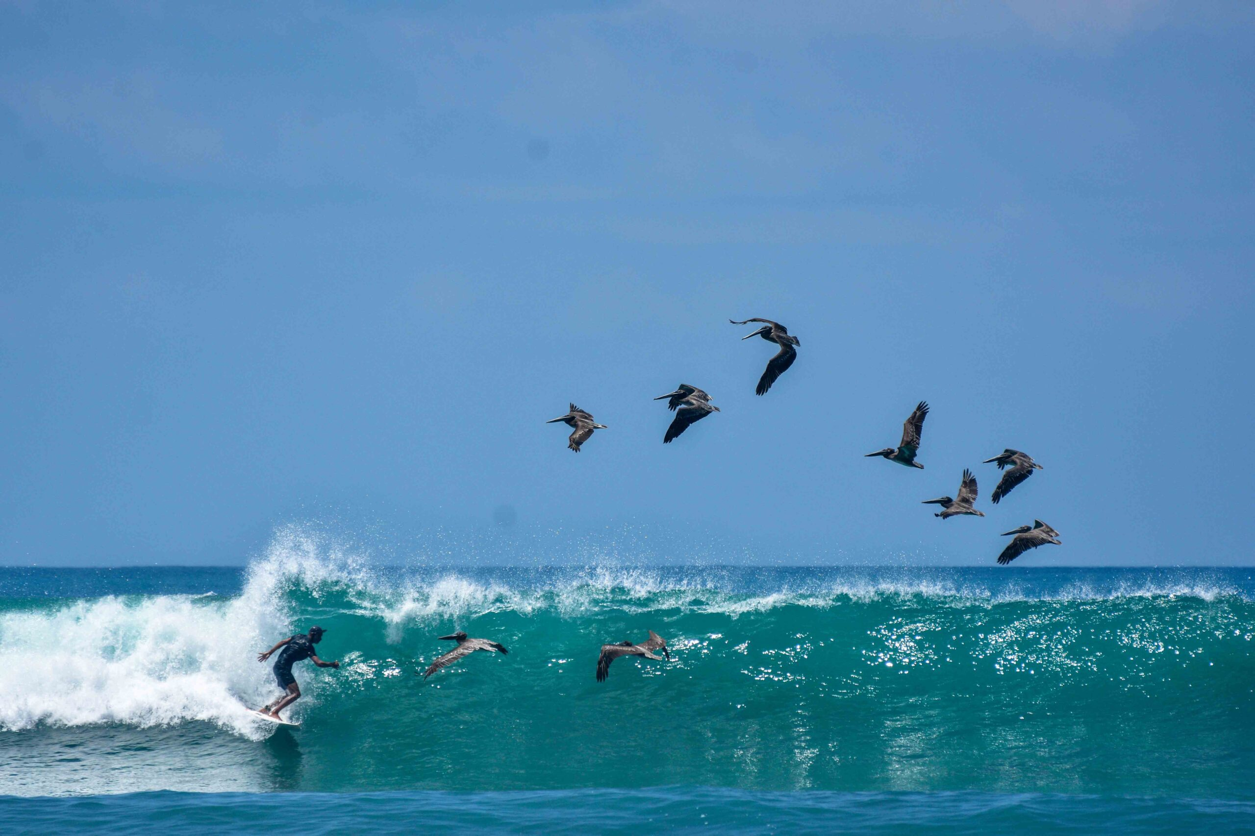 surfer with pelicans on a wave at Rancho Burica Costa Rica