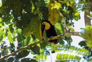Tucan Rancho Burica Costa Rica