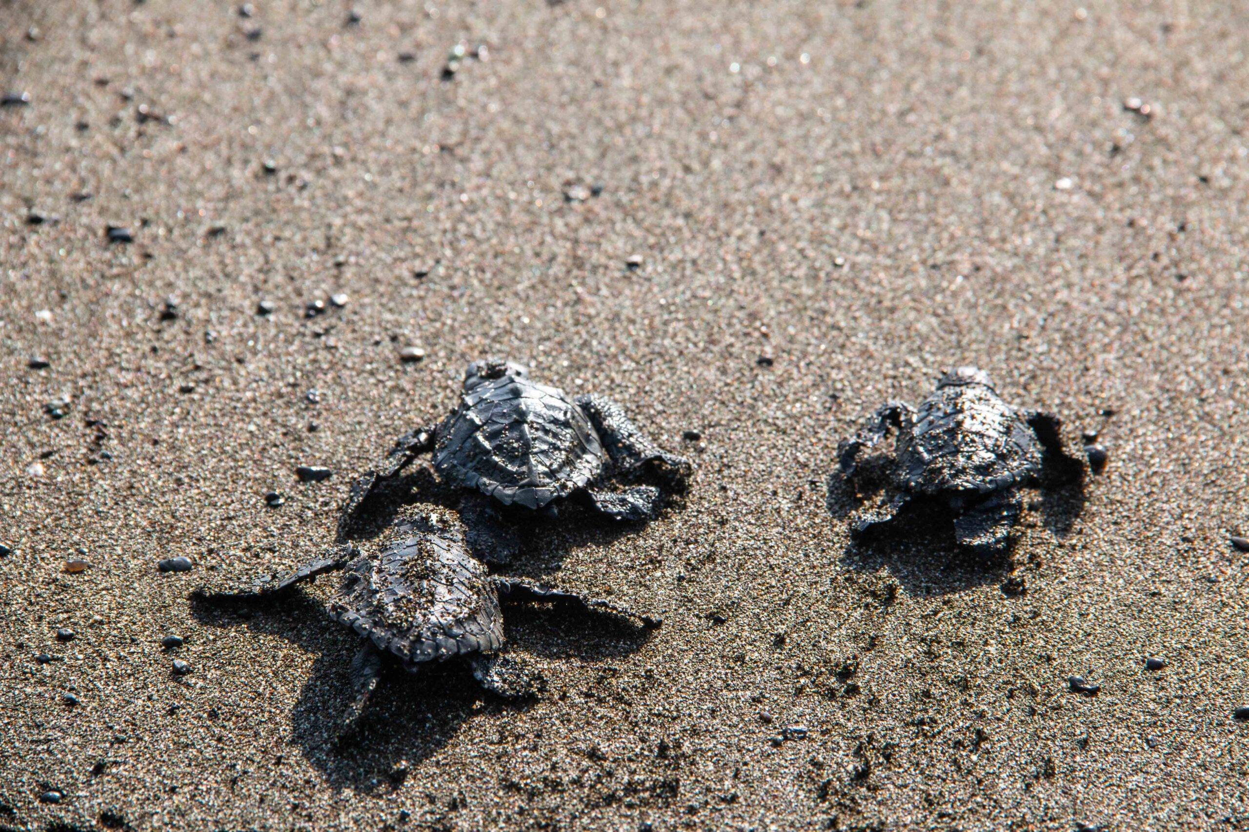 baby turtles release in Punta Banco beach Costa Rica