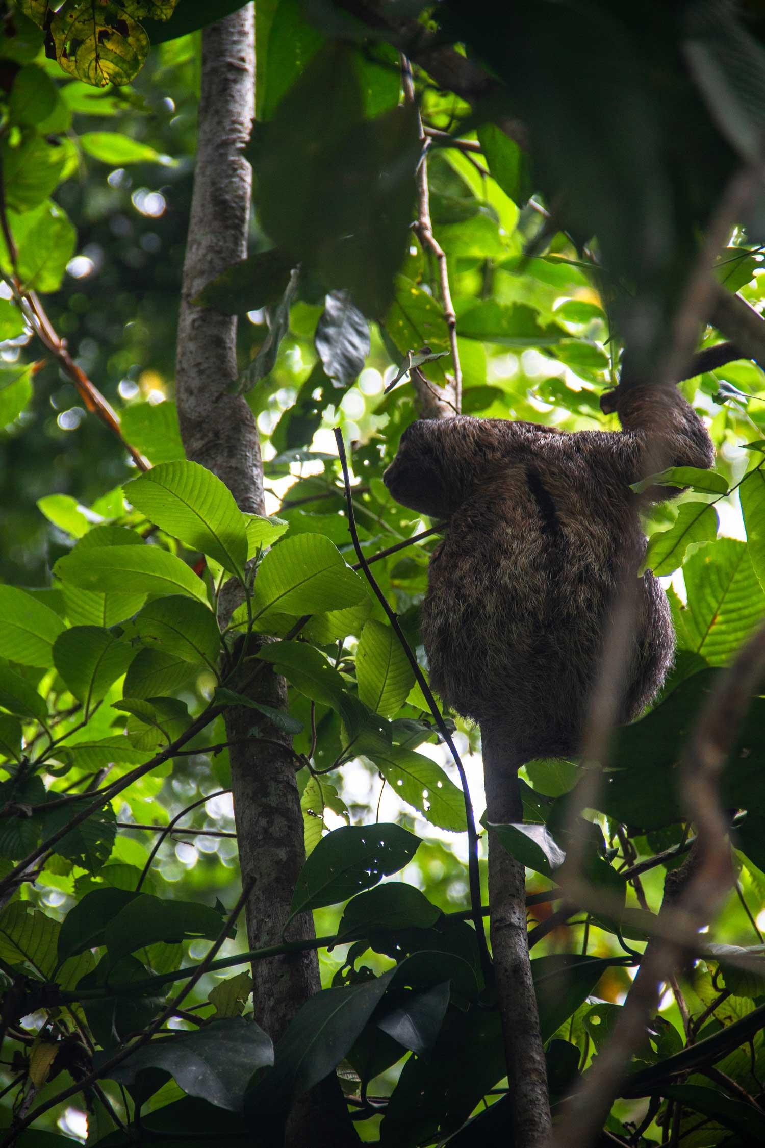 Sloth in Punta Uva Costa Rica