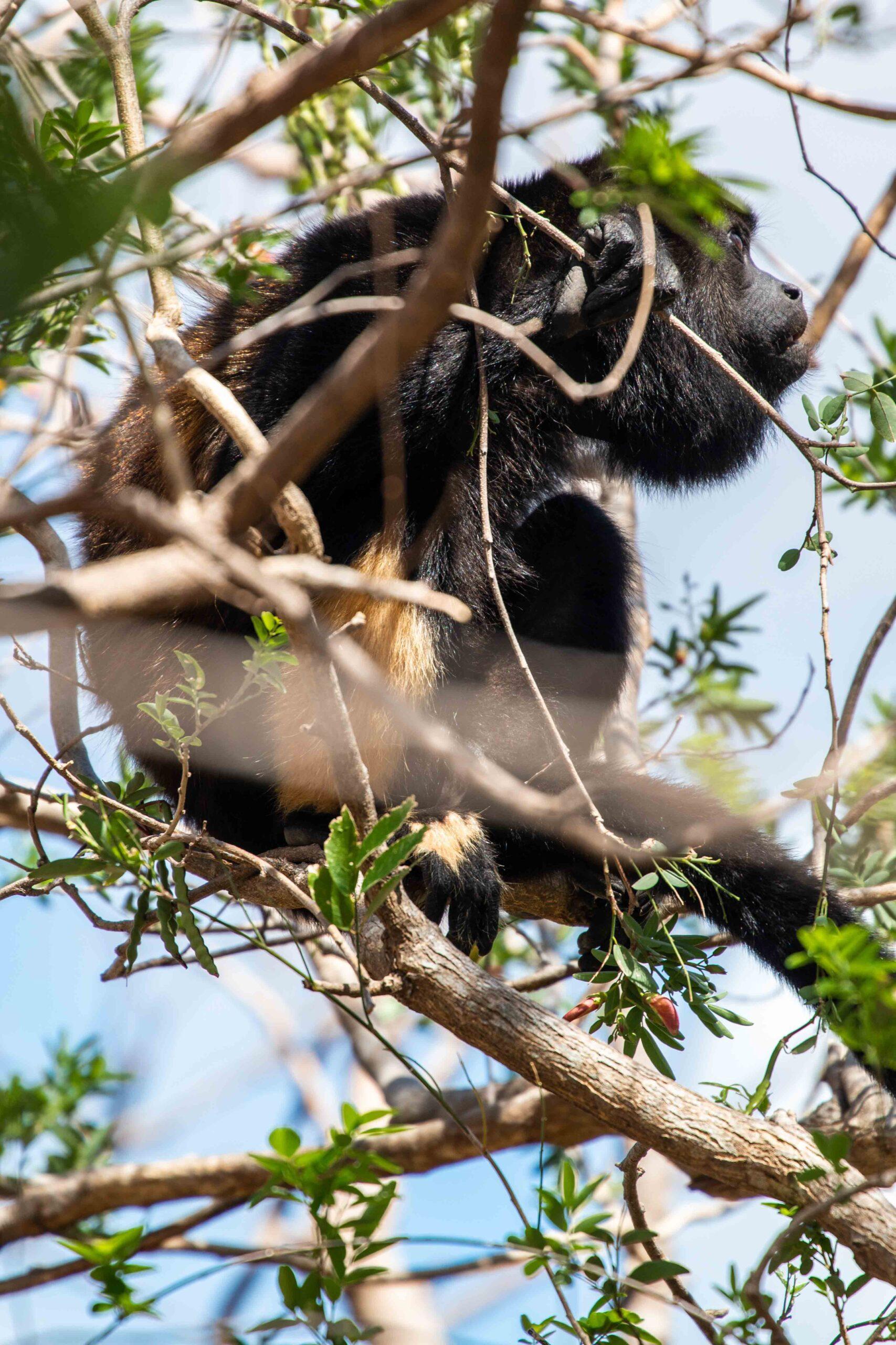 Howler monkey at Balcones de Majagual in Nicaragua