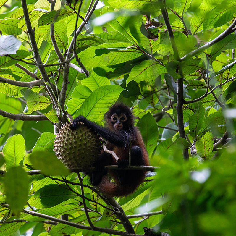 Baby spider monkey in Costa Rica