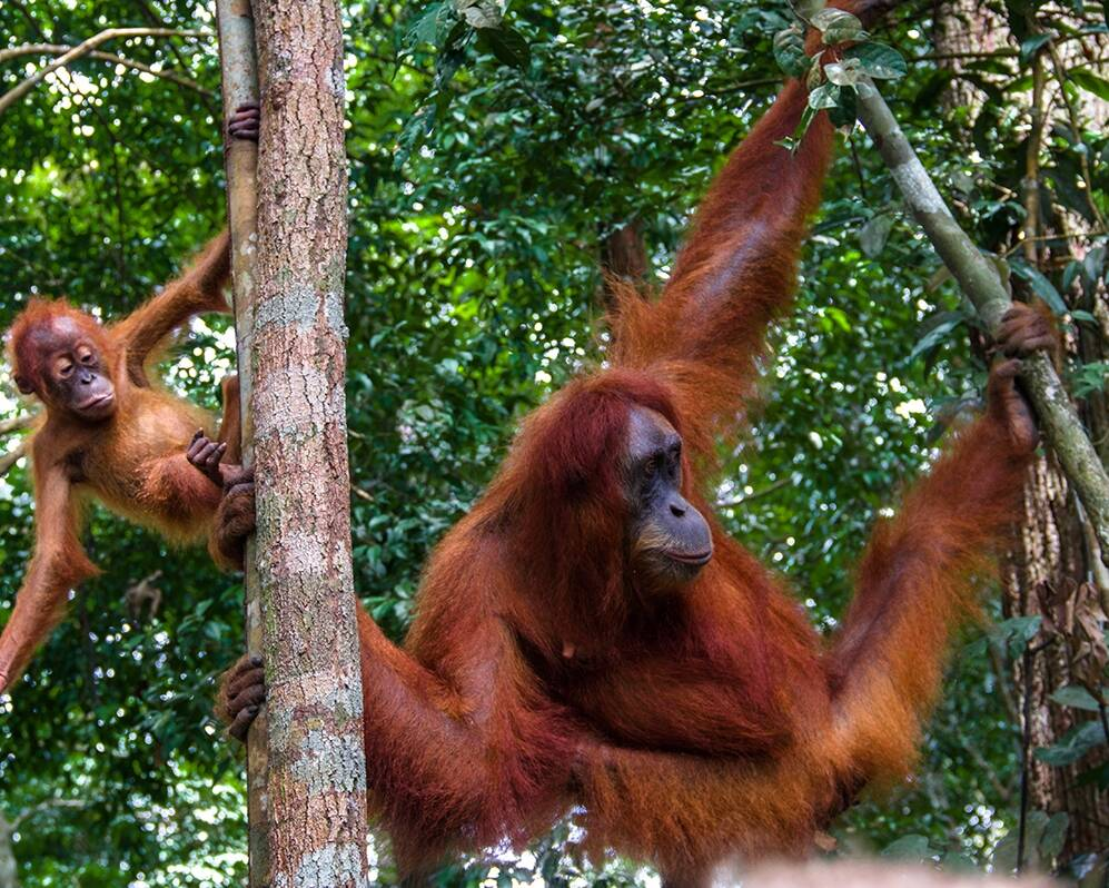 Mother and baby orangutan in Sumatra