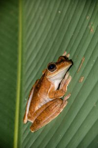 Frog at night in Costa Rica