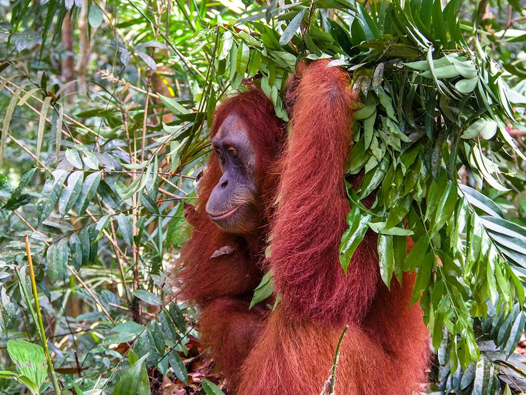 Orangutan in the jungle of Sumatra