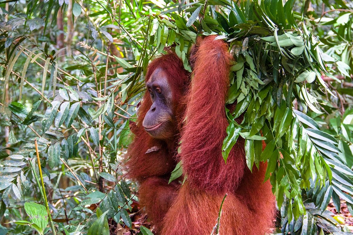 Orangutan in the jungle of Sumatra