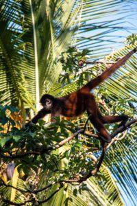 Spider monkey in Matapalo Costa Rica