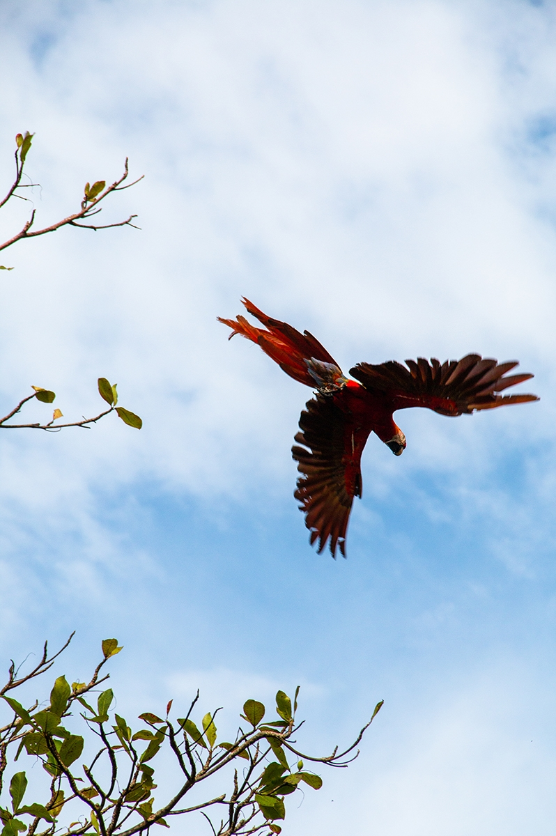 Red Macaw at Finca Exotica Carate