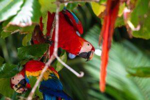 Red macaws at Finca Exotica hotel Costa Rica