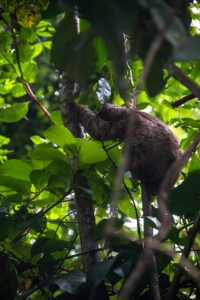 Sloth at Congo Bongo hotel Costa Rica
