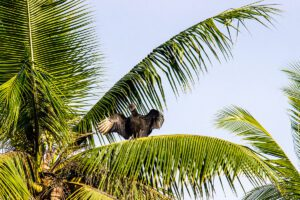 Vulture in the palm trees in Costa Rica