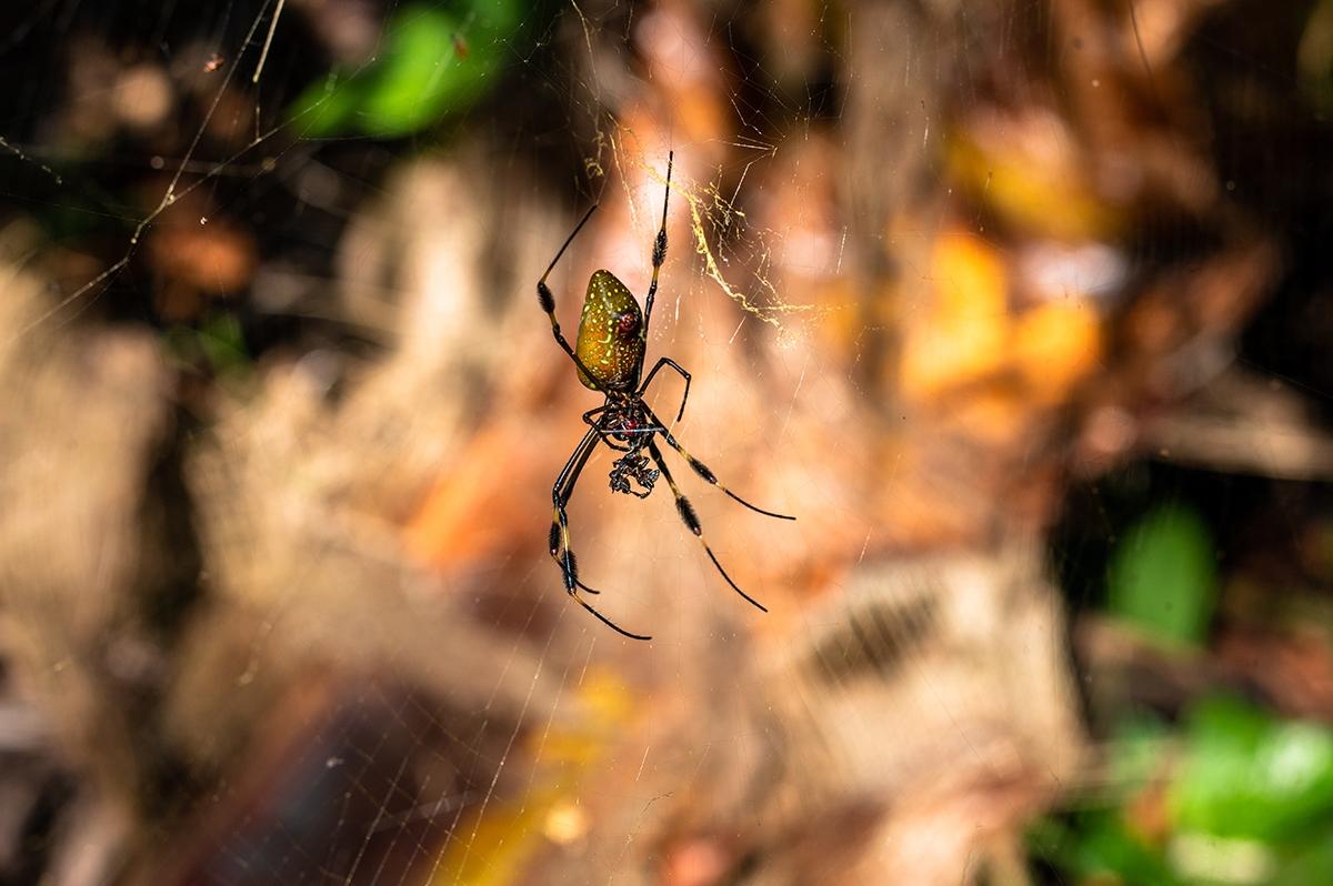 Banana spider in Cahuita National Park Costa Rica
