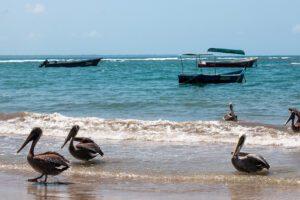 Pelicans in Puerto Viejo Costa Rica