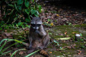 Racoon in Cahuita National Park Costa Rica